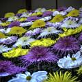Photos: 管物菊