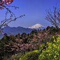 河津桜&富士