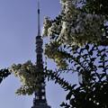 写真: サルスベリとタワー