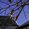 写真: 残り柿 (3)