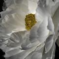 写真: 冬牡丹