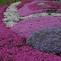 昭和記念公園・菜の花・他