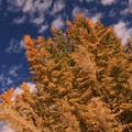 Photos: 秋の空と山吹色