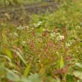 写真: 藍の花2