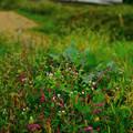 写真: 藍の花4