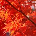 写真: 錦秋の京都2017 常寂光寺1