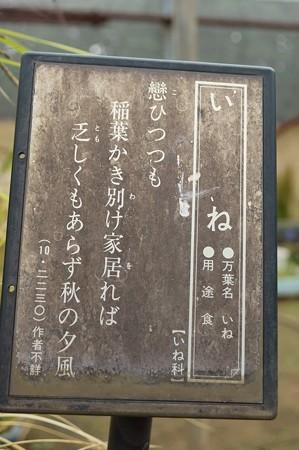 稲(イネ)