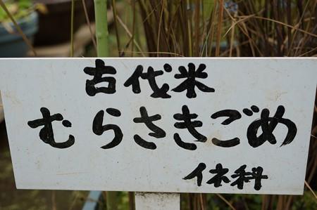 紫米(ムラサキゴメ)