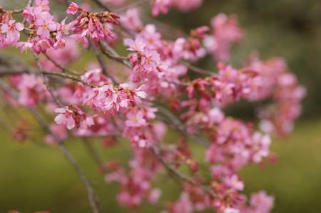 早春桜(ソウシュンザクラ)