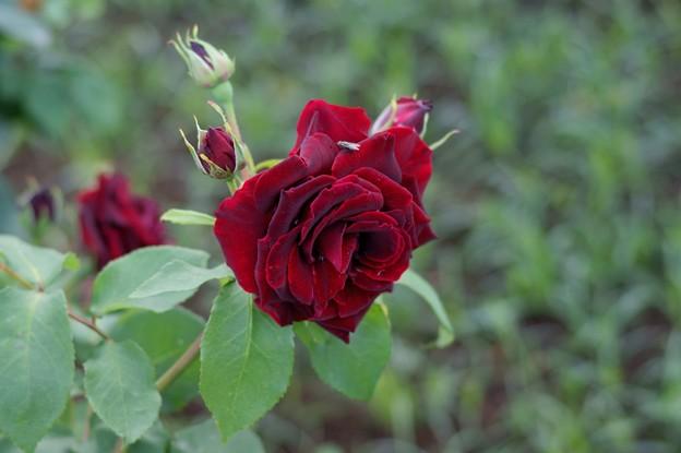 薔薇 黒真珠