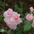 写真: 薔薇 ブライダル・ピンク