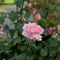 写真: 薔薇 クイーン・エリザベス