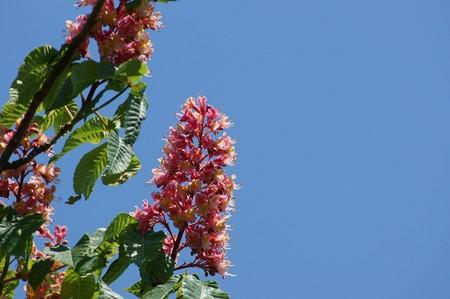 紅花栃の木(ベニバナトチノキ)