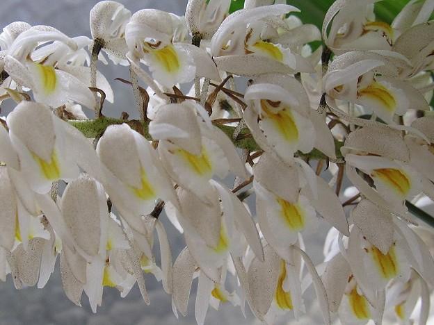 Coel.multiflora セロジネ・マルチフローラ