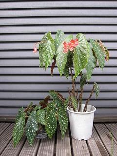木立ち性ベゴニア赤花剪定