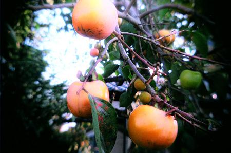 となりの柿はよく客食う