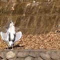 Photos: 変なアオサギ1