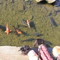 写真: 鯉が気になる