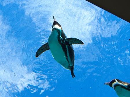 20141205 森きらら ペンギン館12