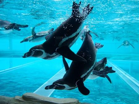20141205 森きらら ペンギン館49