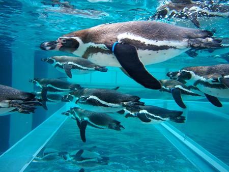 20141205 森きらら ペンギン館46