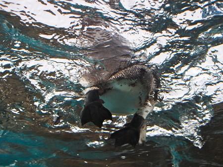20141205 森きらら ペンギン館61