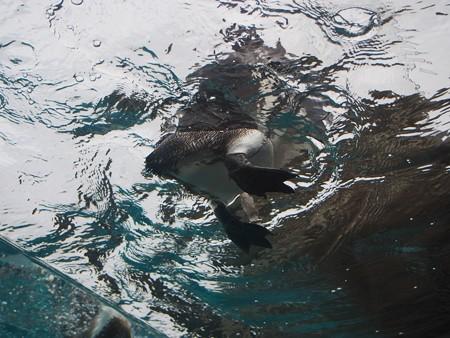 20141205 森きらら ペンギン館54
