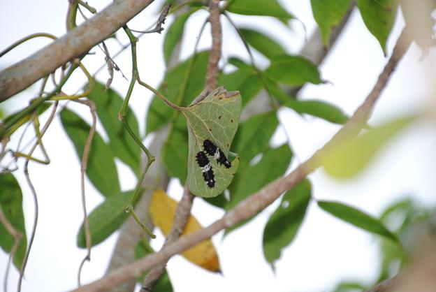 ジャコウアゲハの幼虫DSC_0034