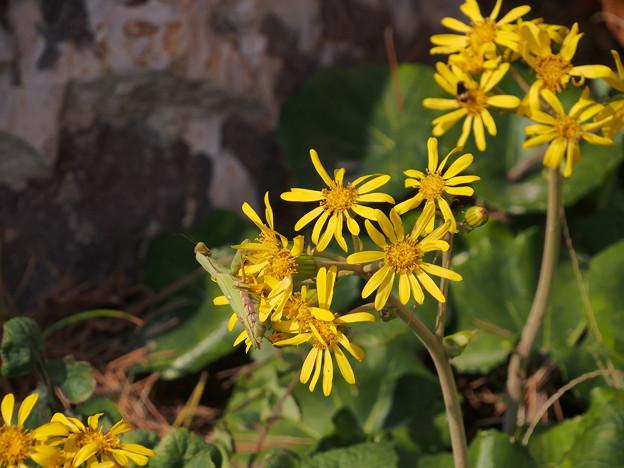 ツワブキ Farfugium japonicum