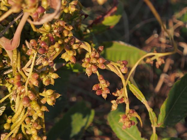 ネナシカズラ Cuscuta japonica
