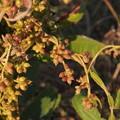 Photos: ネナシカズラ Cuscuta japonica