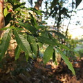 Photos: ハナガガシ Quercus hondae