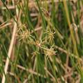 Photos: シチトウイ Cyperus malaccensis subsp. Monophyllus