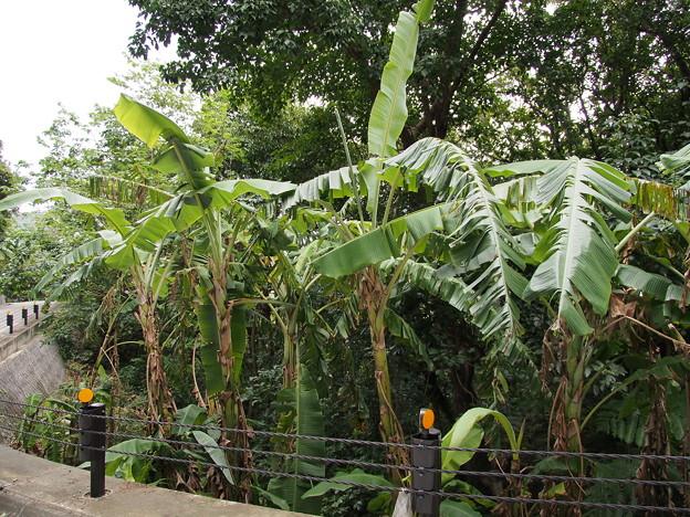 バナナ Musa acuminata