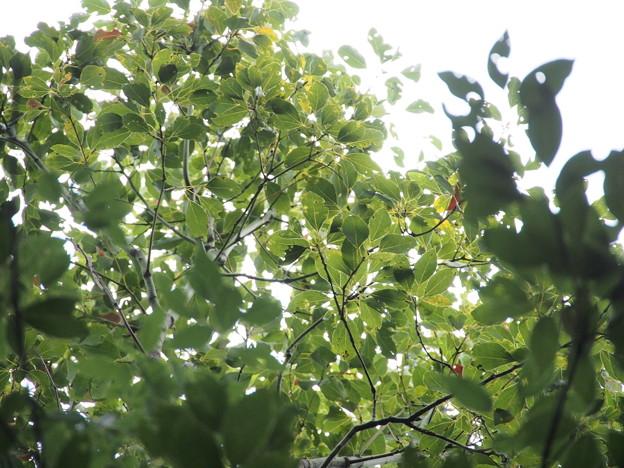 クスノキ Cinnamomum camphora 葉