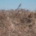 Photos: 葦の海原