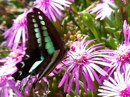 黒い蝶と松葉牡丹