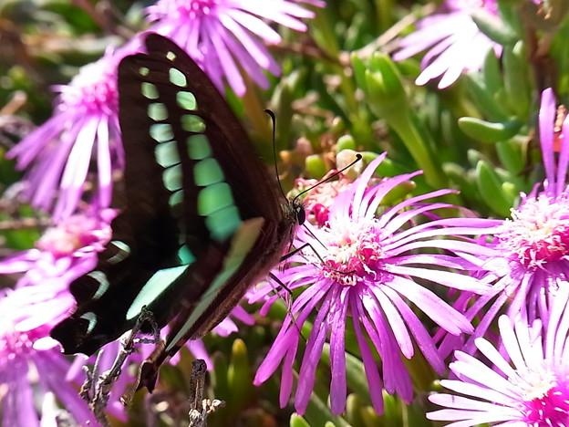 写真: 黒い蝶と松葉牡丹