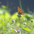 写真: タテハチョウ