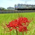 写真: 彼岸花と電車