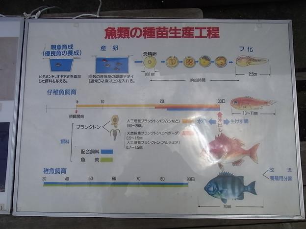 2012/7/16 長崎ペンギン水族館 マダイの稚魚放流会