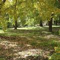 秋の気配ー銀杏畑