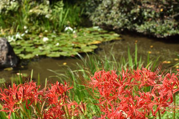 池の前の彼岸花