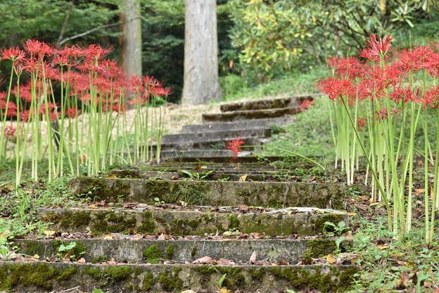 階段と彼岸花
