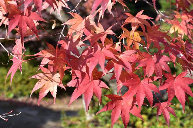 長府庭園紅葉 5