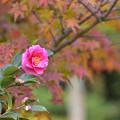 山茶花と紅葉 2