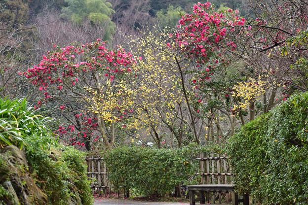 山茶花と蝋梅
