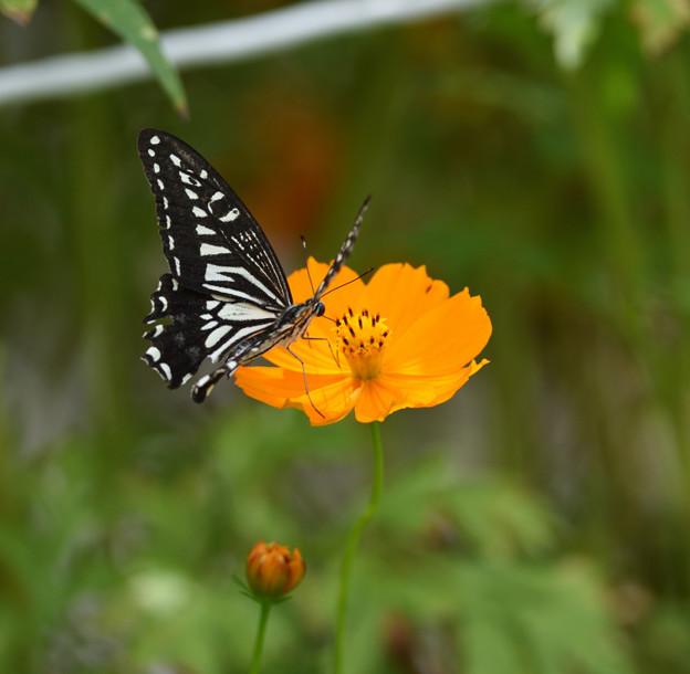 キバナコスモスとアゲハ蝶