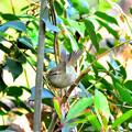 春告げ鳥2