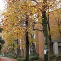 ユリノキ並木道1